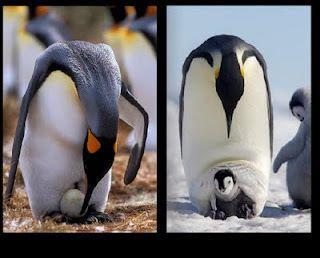padre-pingüino emperadorç