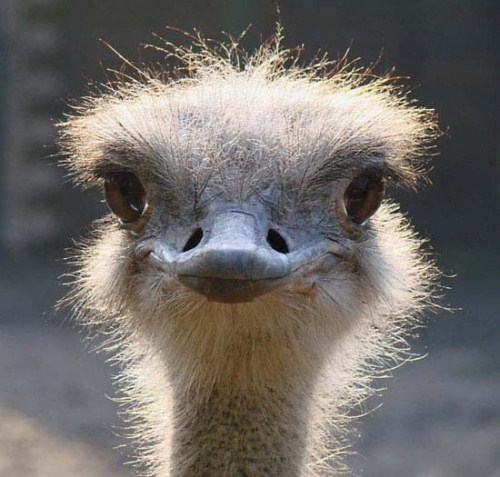 0 CFvR smiling-avestruz