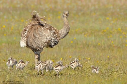 0 CFvR Día del Padre ñandu con sus hijos