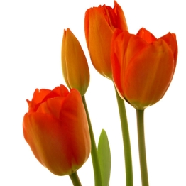 0 CFvR red tulips