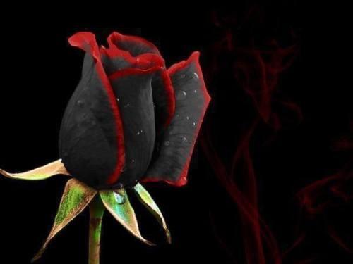 0 CFvR Rosa negra